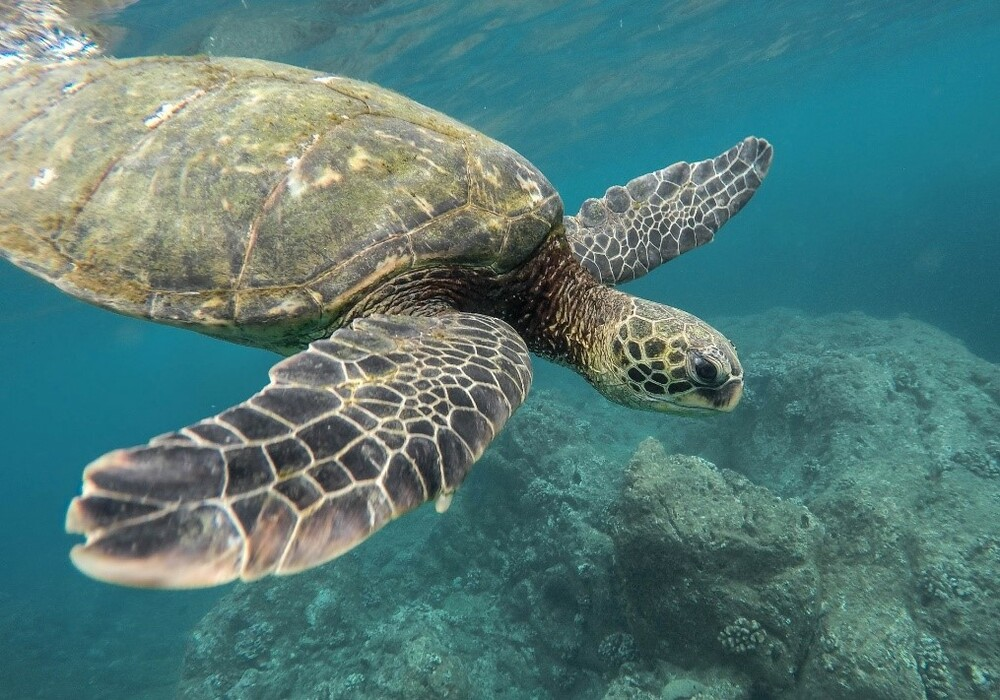 submarinismo en Tenerife tortugas