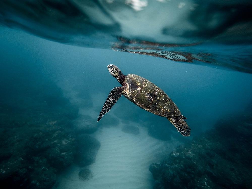 snorkel conj tortugas en tenerife tortuga boba